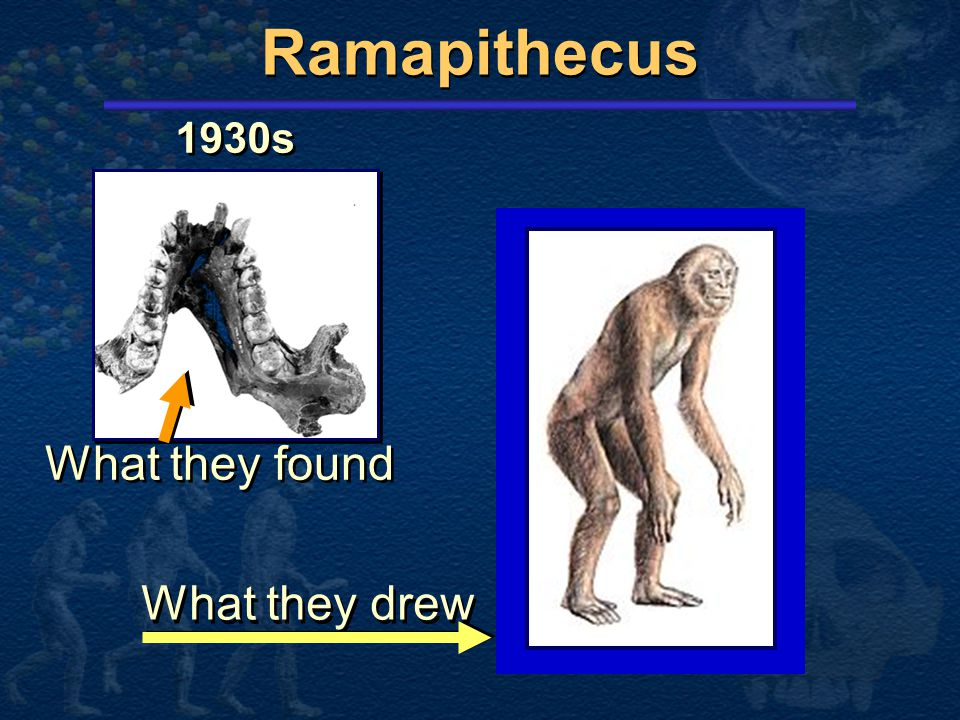 Ramapithecus What they found What they drew 1930s