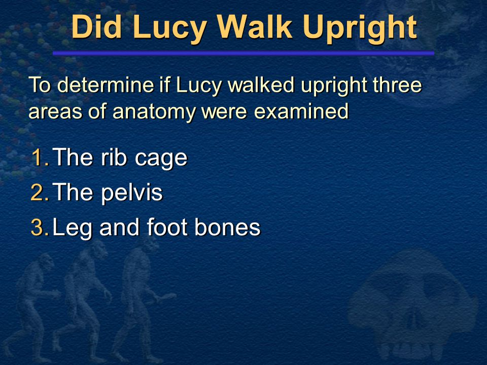 Did Lucy Walk Upright The rib cage The pelvis Leg and foot bones