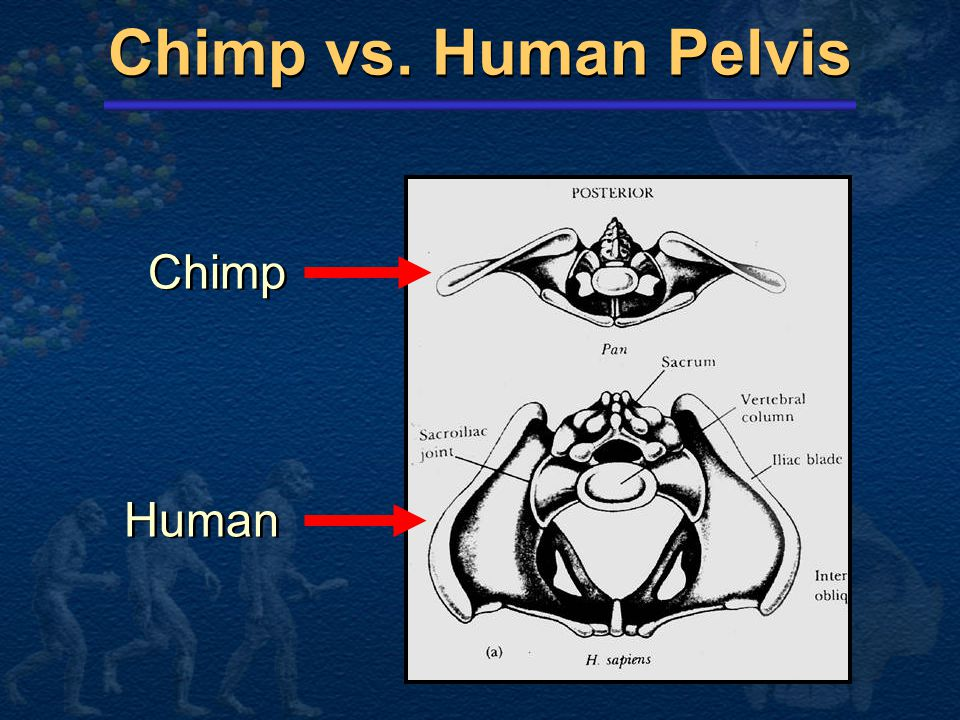 Chimp vs. Human Pelvis Chimp Human