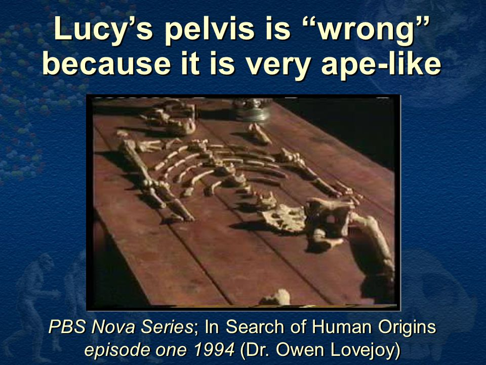 Lucy's pelvis is wrong because it is very ape-like
