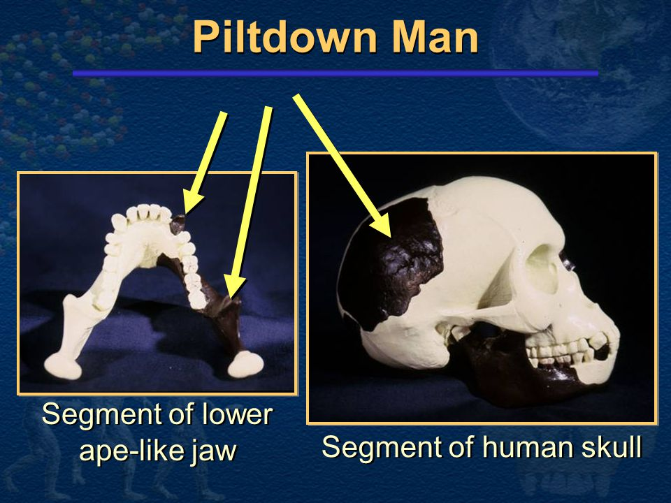 Segment of lower ape-like jaw