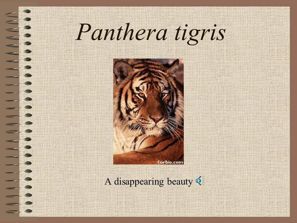Panthera tigris A disappearing beauty