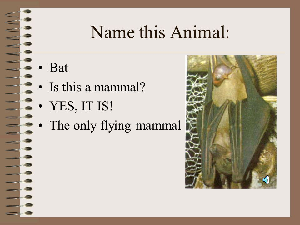 Name this Animal: Bat Is this a mammal YES, IT IS!