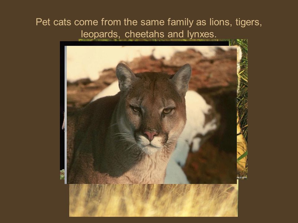 Pet cats come from the same family as lions, tigers, leopards, cheetahs and lynxes.