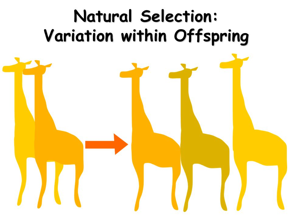Natural Selection: Variation within Offspring