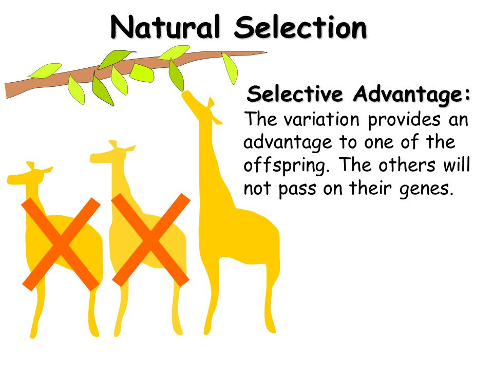 Natural Selection Selective Advantage: