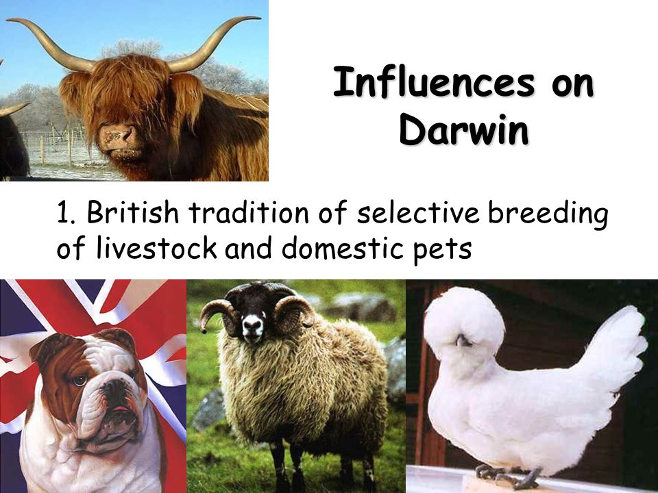Influences on Darwin 1. British tradition of selective breeding of livestock and domestic pets
