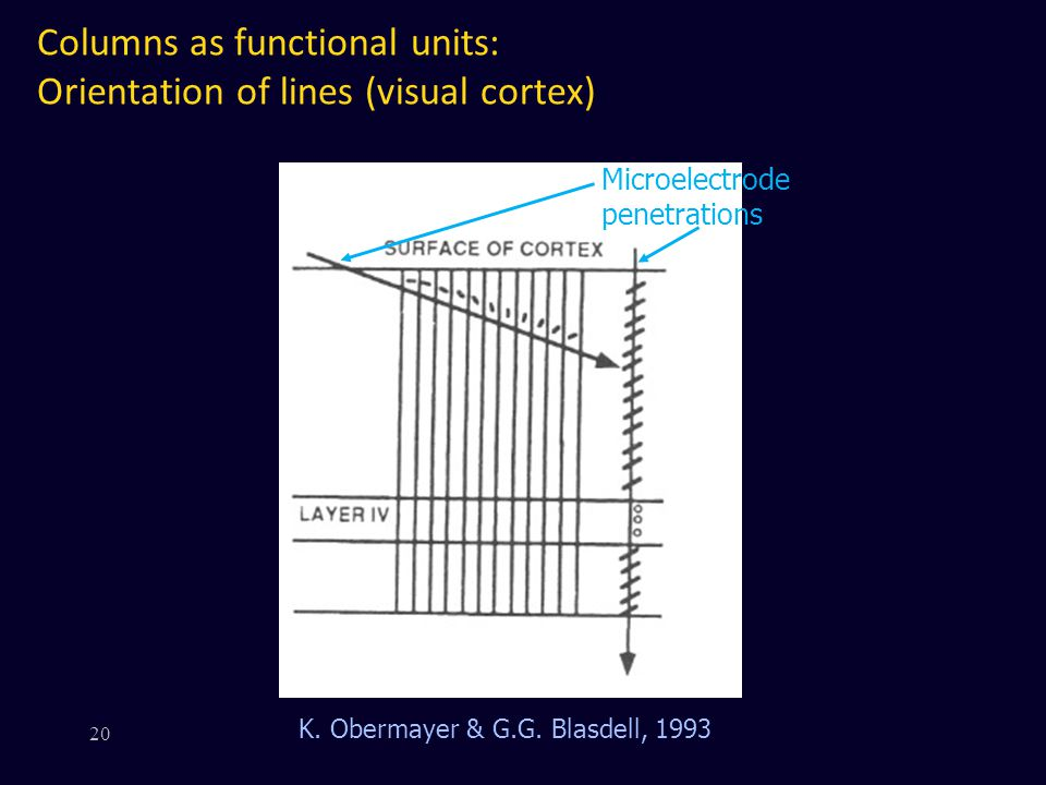 Columns as functional units: Orientation of lines (visual cortex)