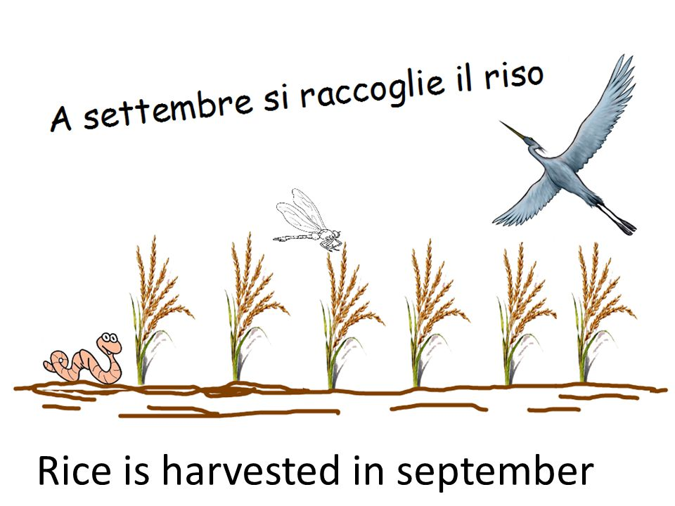 Rice is harvested in september