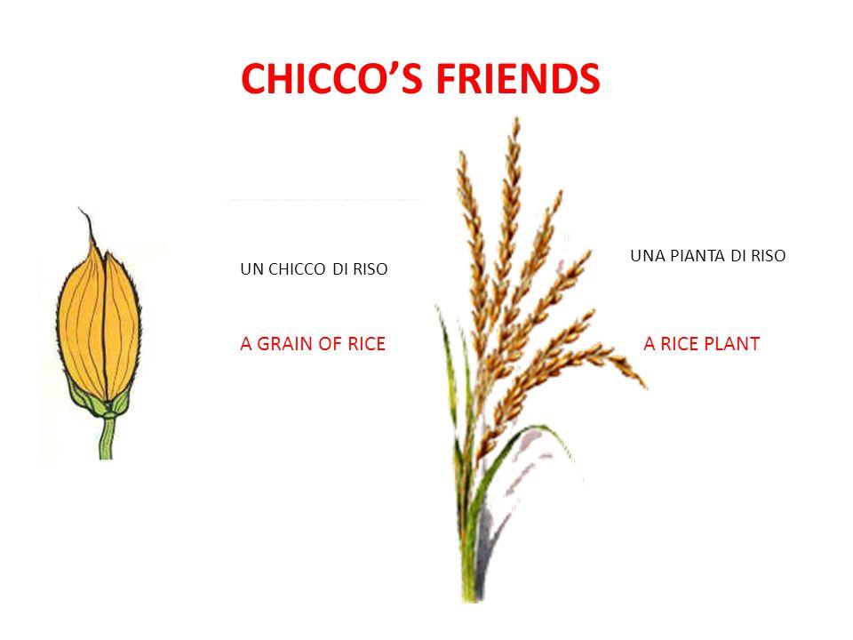 CHICCO'S FRIENDS A GRAIN OF RICE A RICE PLANT UNA PIANTA DI RISO
