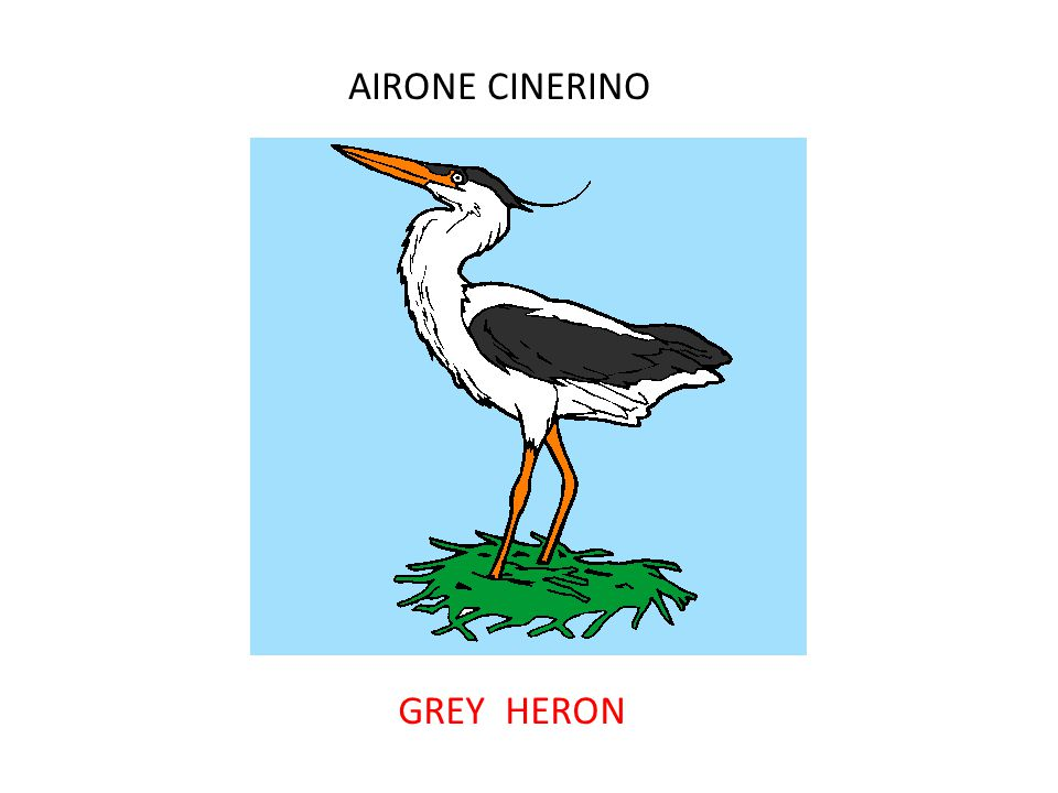 AIRONE CINERINO GREY HERON