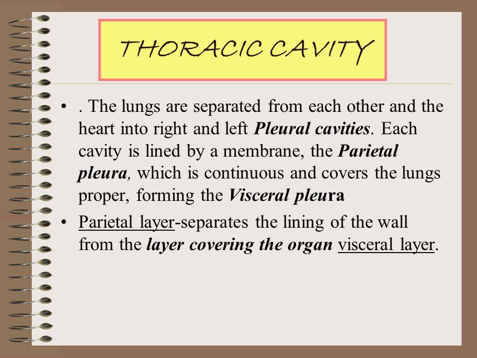 Thoracic Cavity THORACIC CAVITY