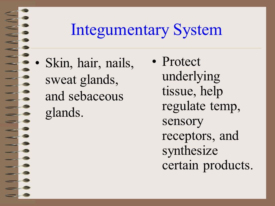 Integumentary System Skin, hair, nails, sweat glands, and sebaceous glands.