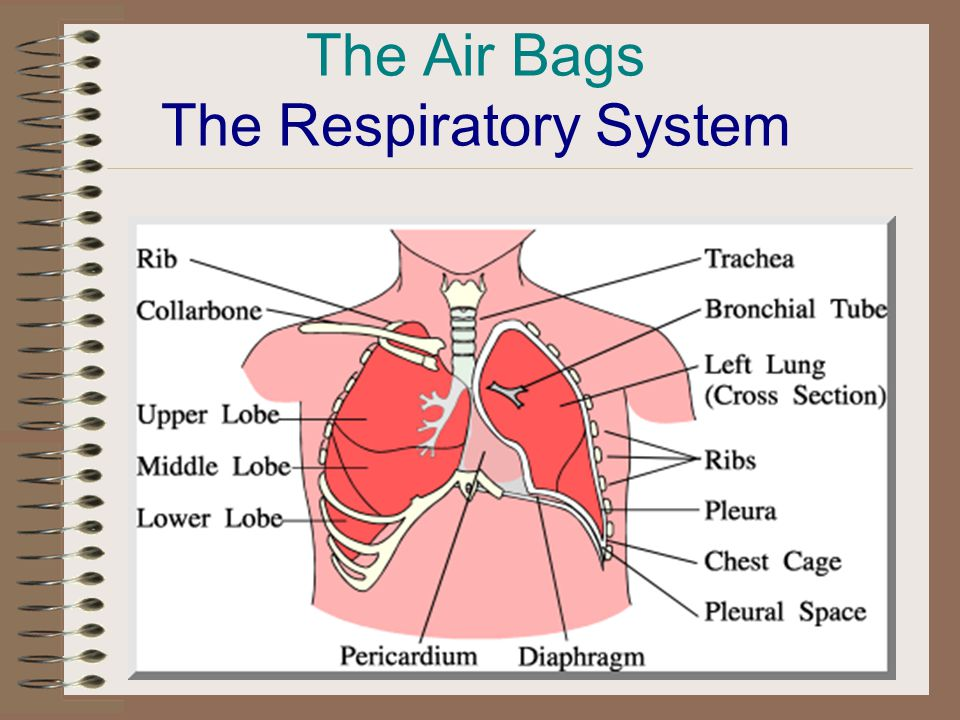 The Air Bags The Respiratory System