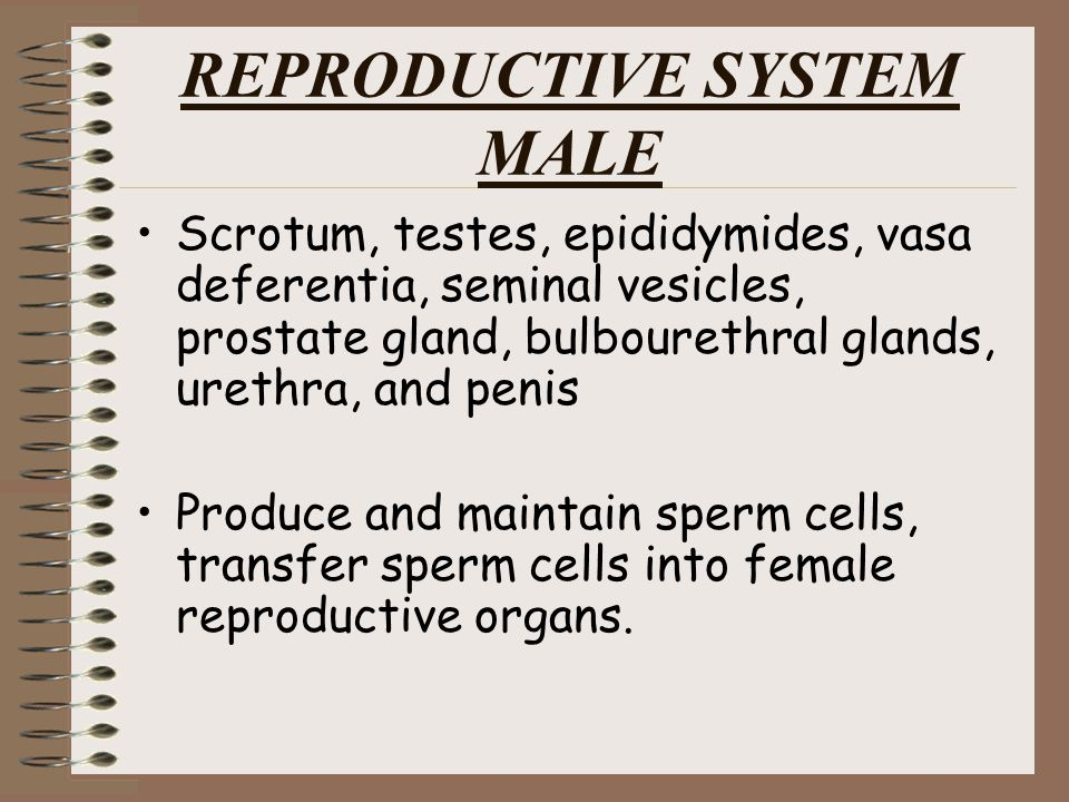 REPRODUCTIVE SYSTEM MALE