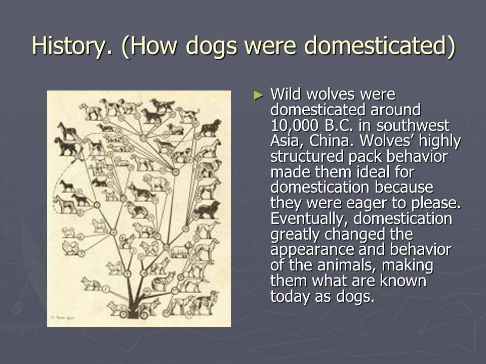 History. (How dogs were domesticated)