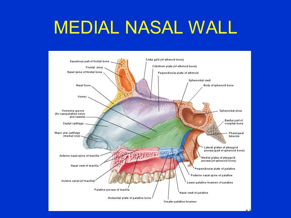 MEDIAL NASAL WALL