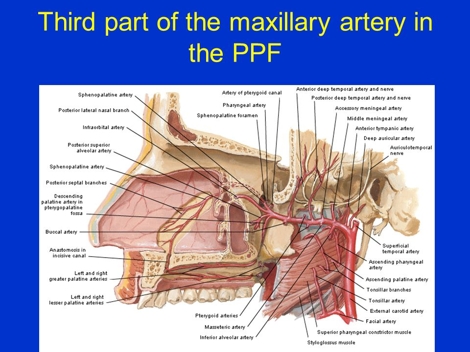 Third part of the maxillary artery in the PPF