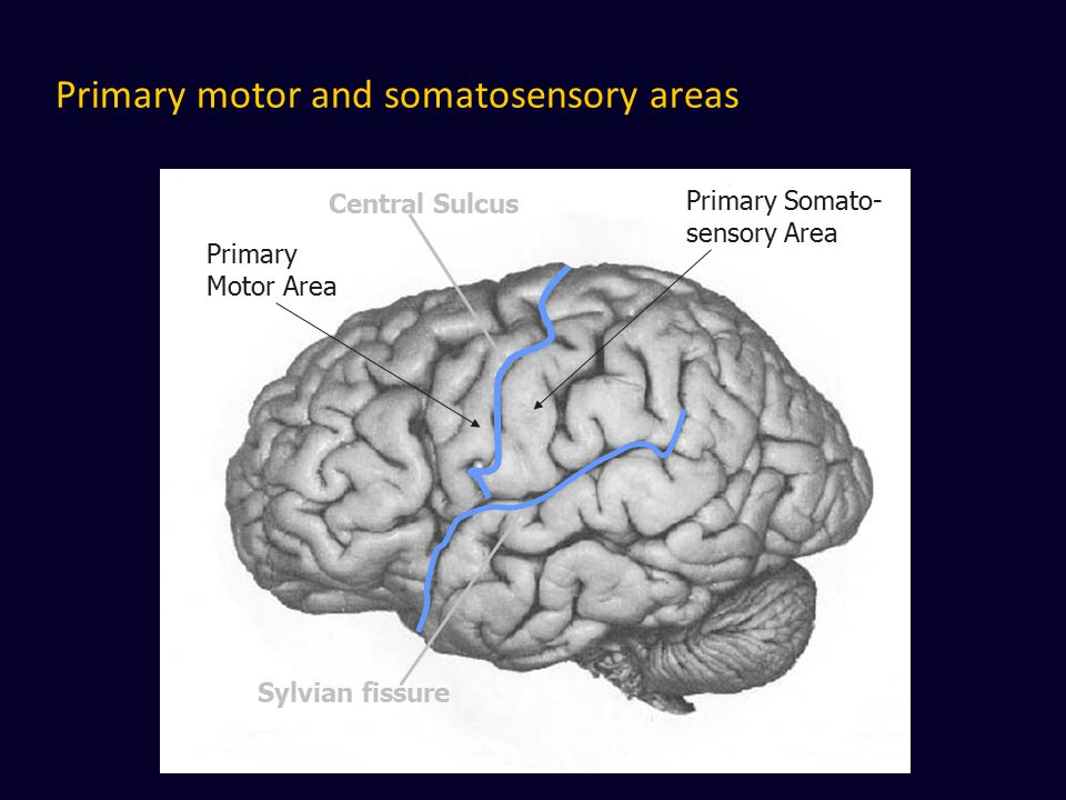 Primary motor and somatosensory areas