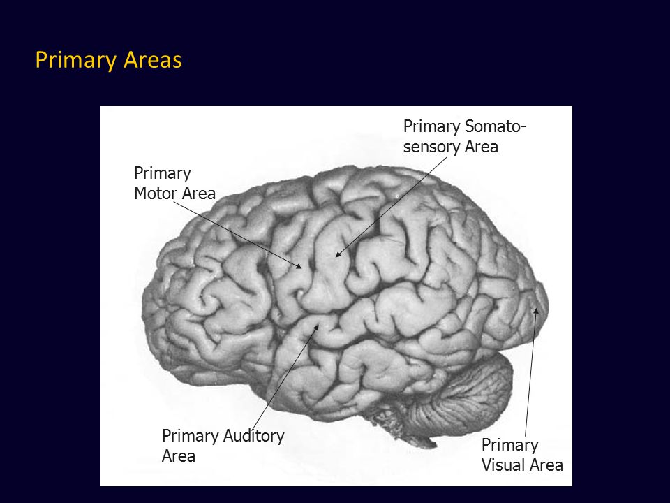 Primary Areas Primary Somato- sensory Area Primary Motor Area