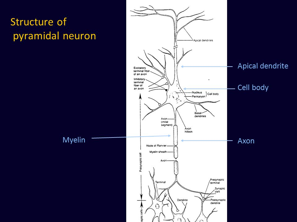 Structure of pyramidal neuron