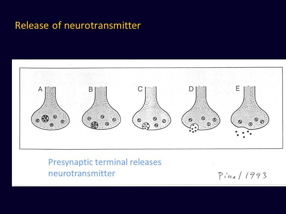 Release of neurotransmitter