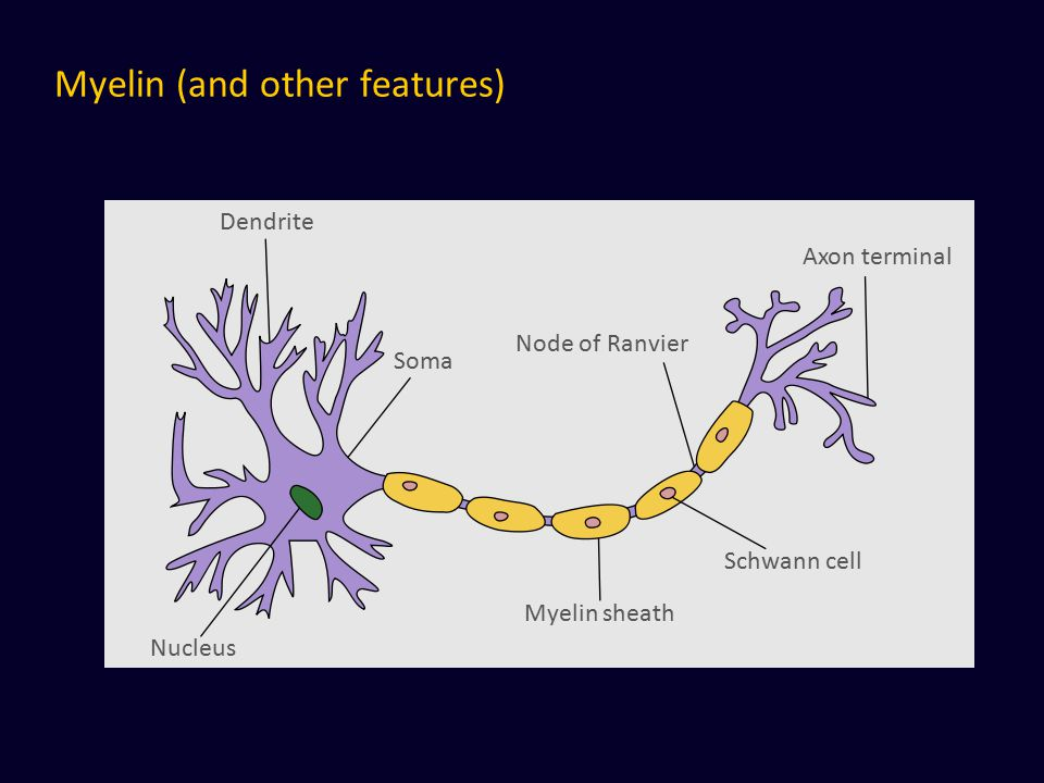 Myelin (and other features)