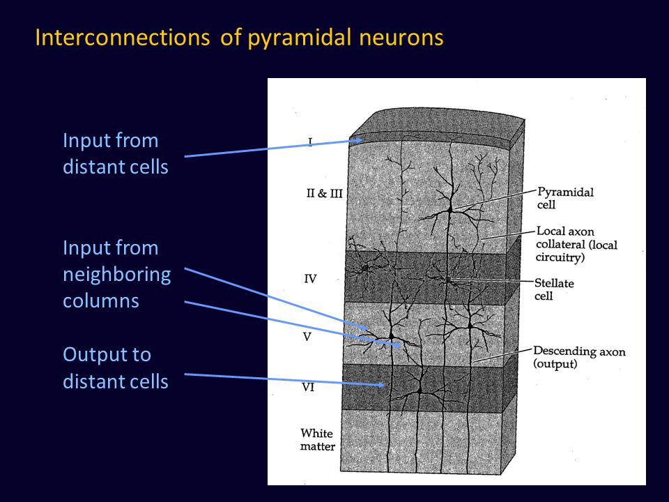 Interconnections of pyramidal neurons