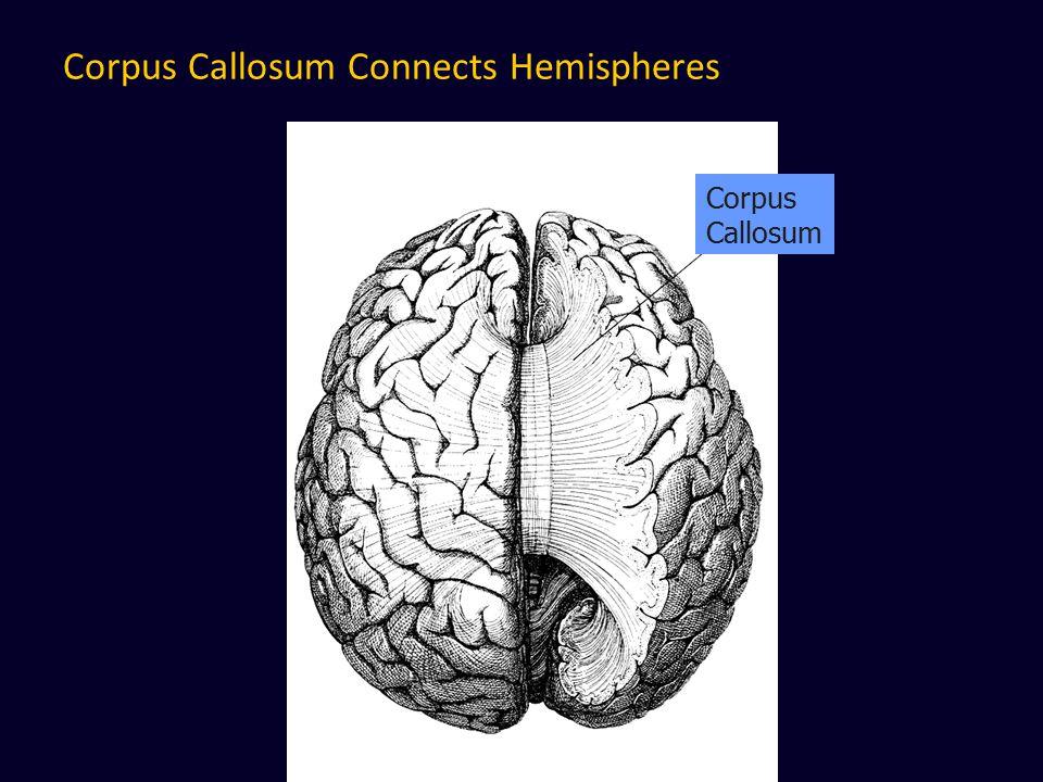 Corpus Callosum Connects Hemispheres