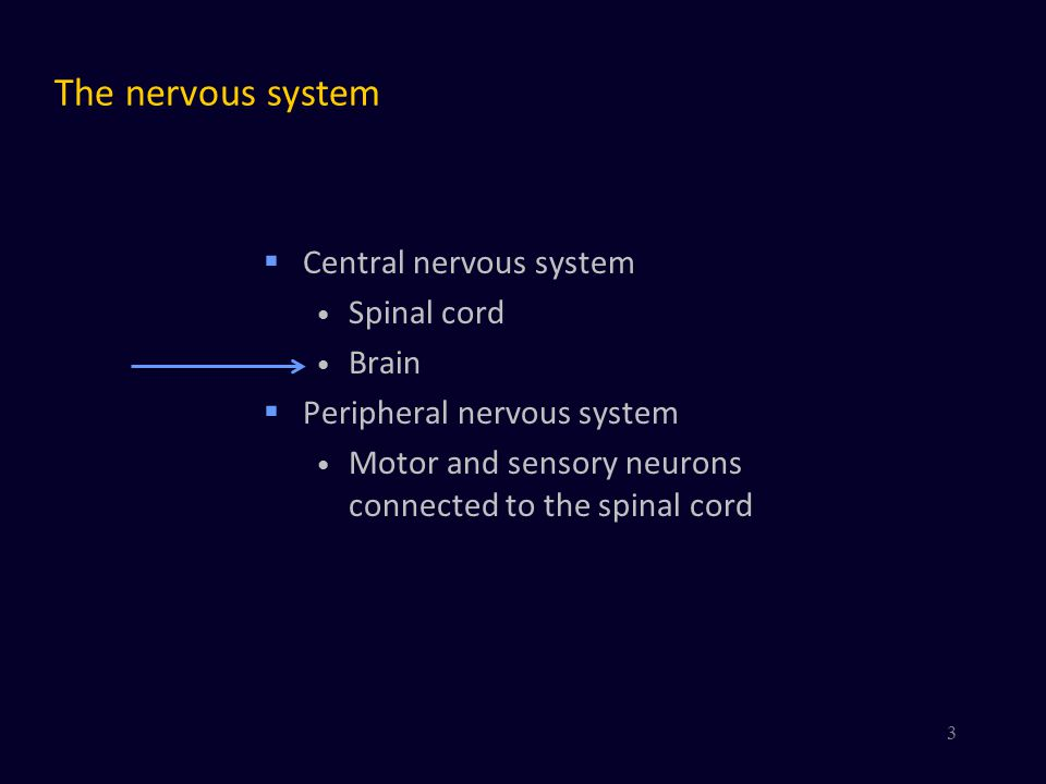 The nervous system Central nervous system Spinal cord Brain