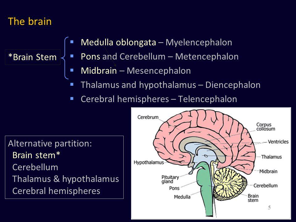 The brain Medulla oblongata – Myelencephalon