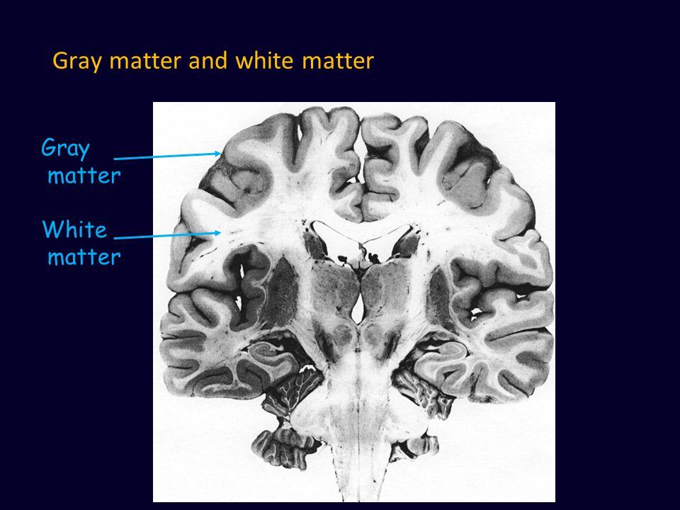 Gray matter and white matter