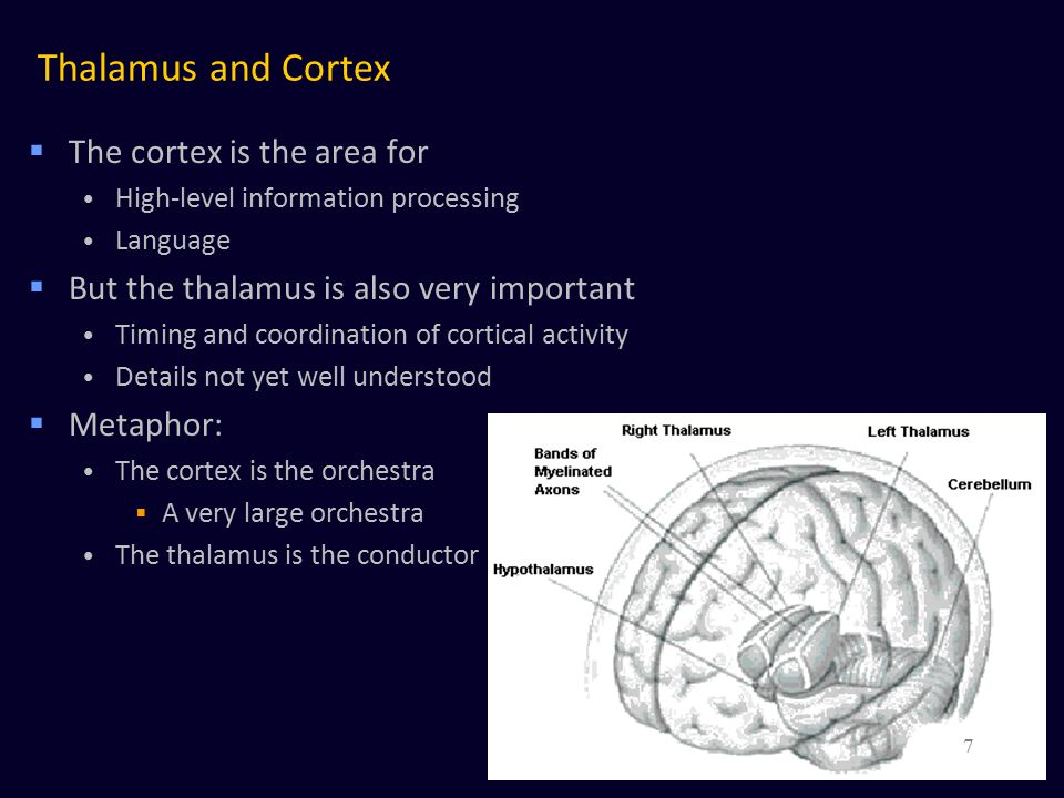 Thalamus and Cortex The cortex is the area for
