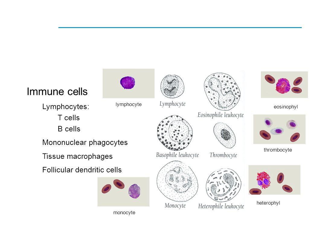 Immune cells Lymphocytes: T cells B cells Mononuclear phagocytes