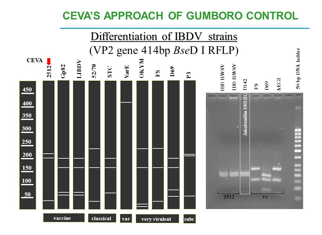 Differentiation of IBDV strains
