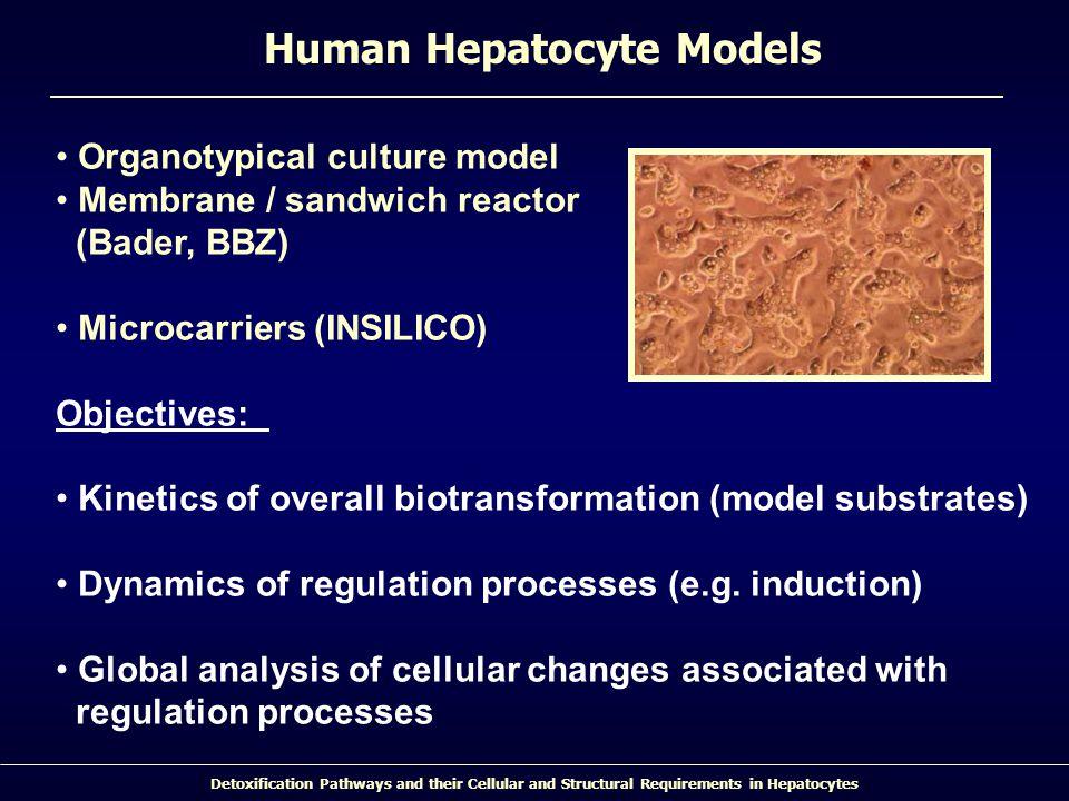 Human Hepatocyte Models