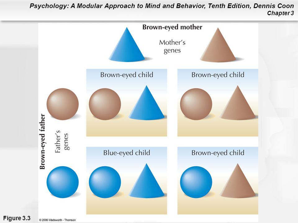 Figure 3.3 Gene patterns for children of brown-eyed parents, where each parent has one brown-eye gene and one blue-eye gene. Since the brown-eye gene is dominant, 1 child in 4 will be blue-eyed. Thus, there is a significant chance that two brown-eyed parents will have a blue-eyed child.