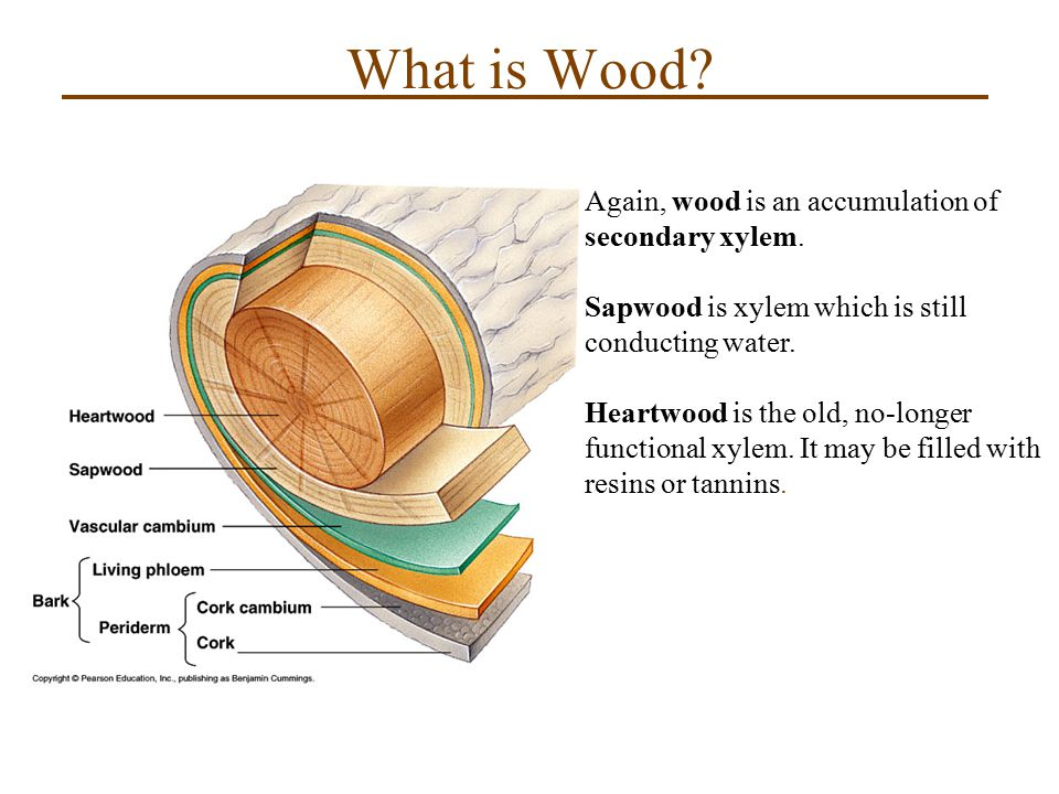 What is Wood Again, wood is an accumulation of secondary xylem.
