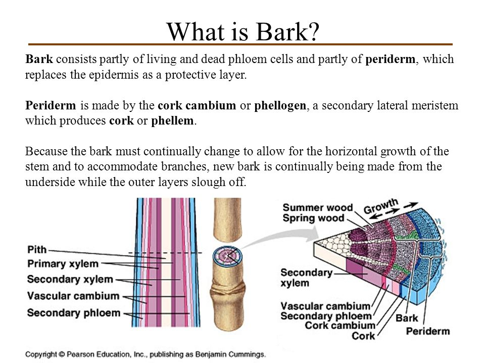 What is Bark Bark consists partly of living and dead phloem cells and partly of periderm, which replaces the epidermis as a protective layer.
