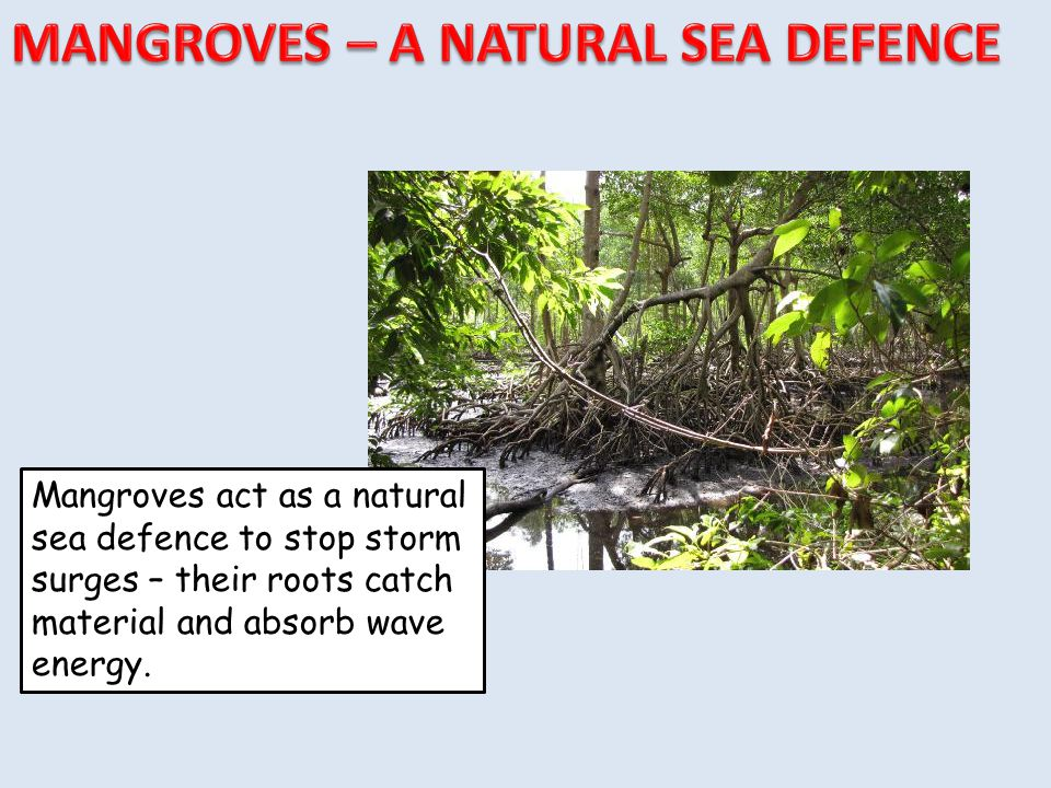 MANGROVES – A NATURAL SEA DEFENCE