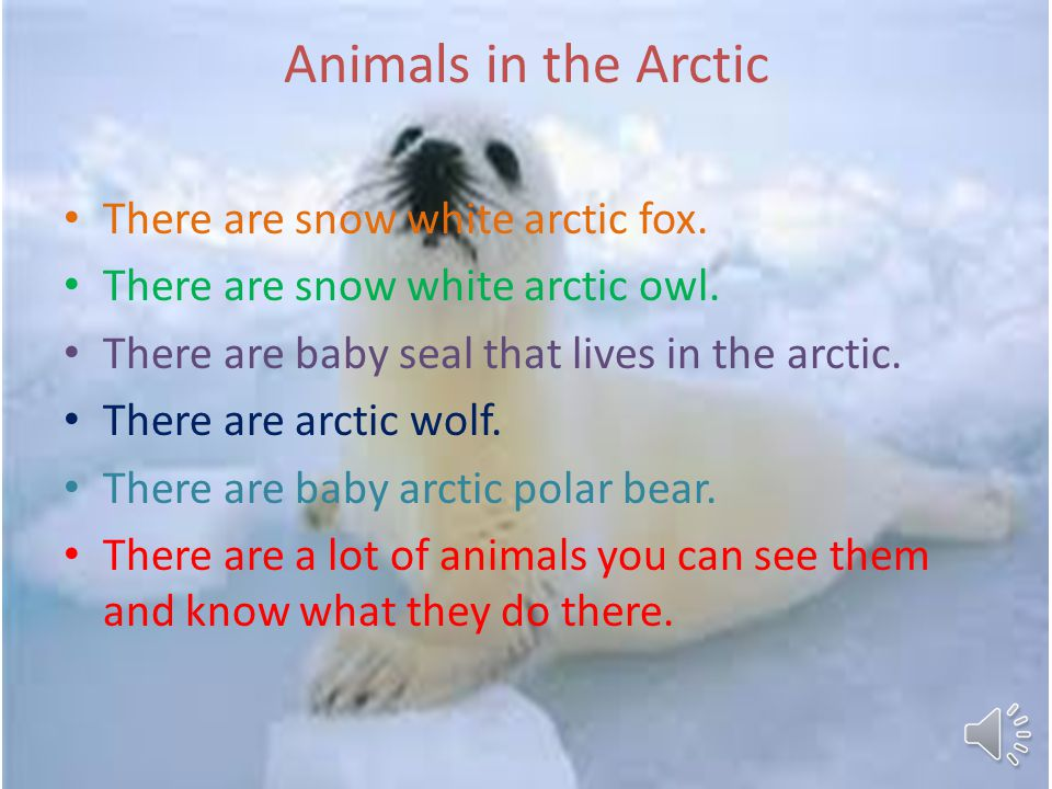 Animals in the Arctic There are snow white arctic fox.