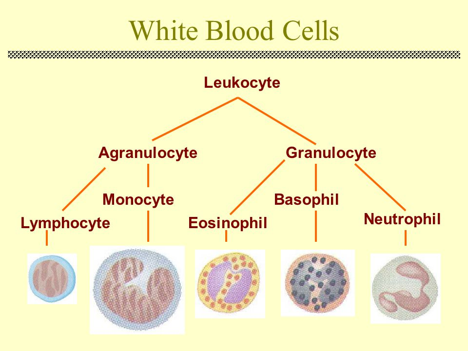 White Blood Cells Leukocyte Agranulocyte Granulocyte Monocyte Basophil