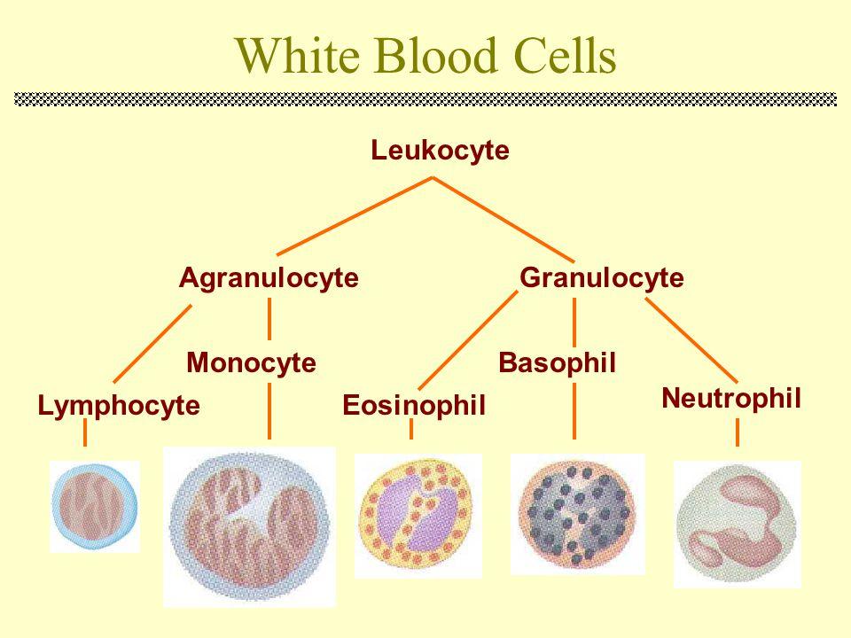 White Blood Cells Leukocyte Agranulocyte Granulocyte Monocyte Basophil