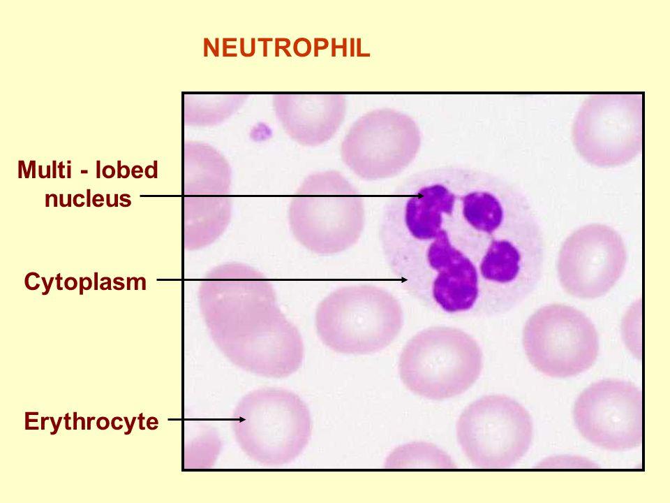 NEUTROPHIL Multi - lobed nucleus Cytoplasm Erythrocyte