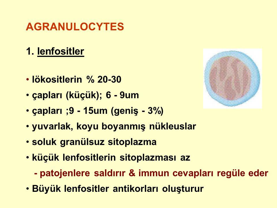 AGRANULOCYTES 1. lenfositler lökositlerin % 20-30