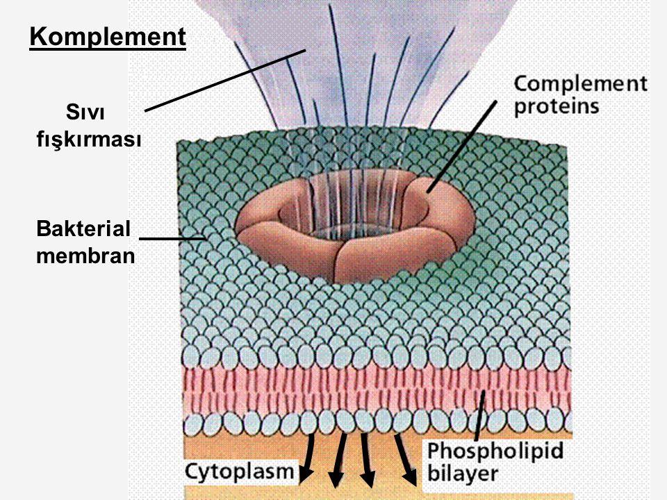 Komplement Sıvı fışkırması Bakterial membran