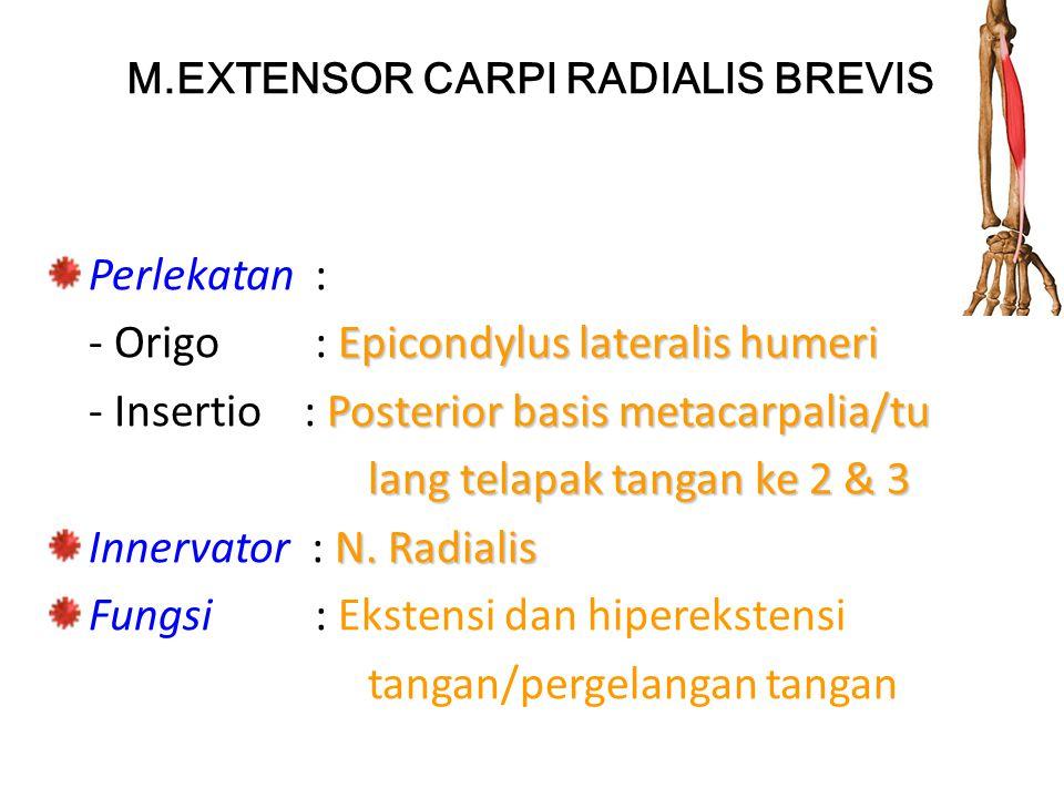 M.EXTENSOR CARPI RADIALIS BREVIS