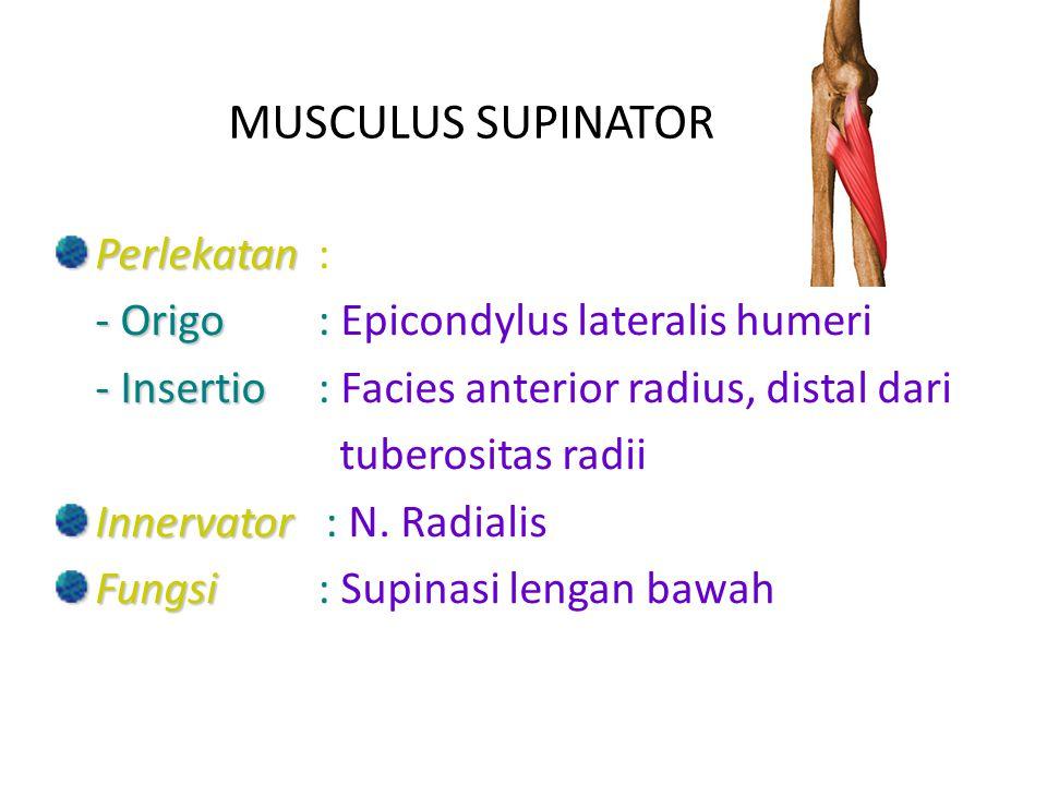 MUSCULUS SUPINATOR Perlekatan : - Origo : Epicondylus lateralis humeri