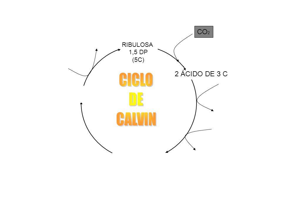 CICLO DE CALVIN CO2 ADP + Pi ATP 2 ÁCIDO DE 3 C 2 ATP 2ADP + 2Pi +