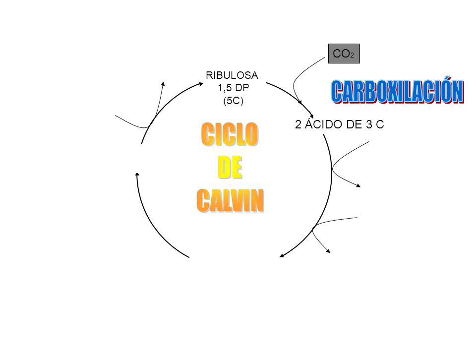 CARBOXILACIÓN CICLO DE CALVIN CO2 ADP + Pi ATP 2 ÁCIDO DE 3 C 2 ATP
